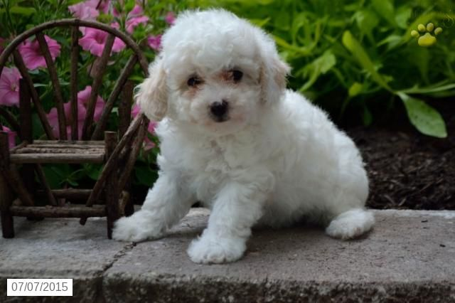Poodles Mini Toy Puppy For Sale In Ohio Buckeyepupppies