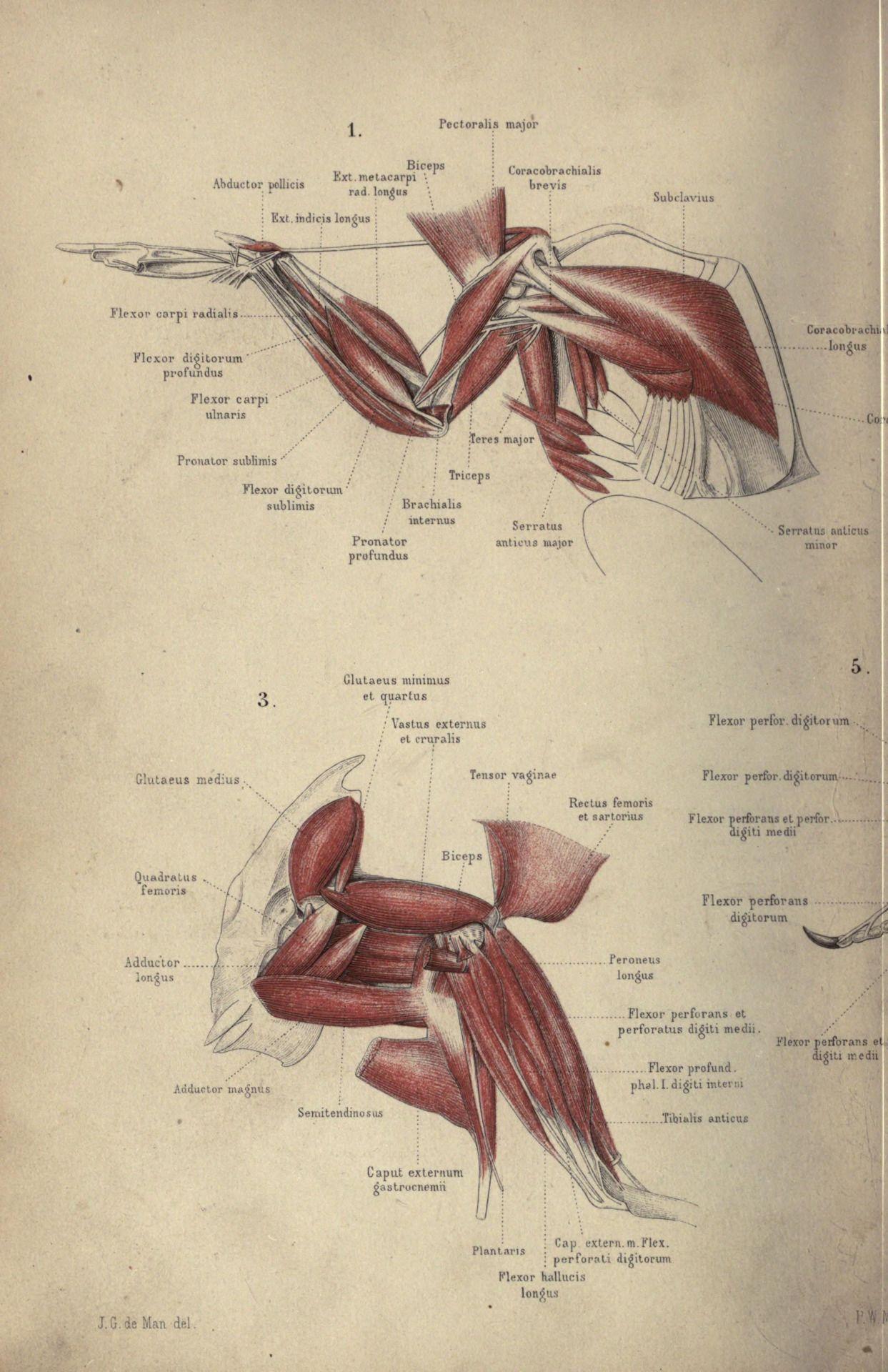 Avian Anatomy Diagram Labeled S13 240sx Headlight Wiring Bird Wing Muscle Howstuffworks Pinterest