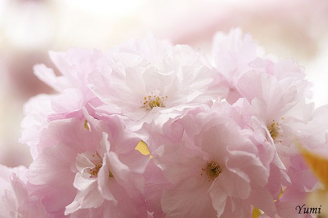 sakura macro by * Yumi *, via Flickr | #pastelcolors #pink #yellow #flowers #blossoms