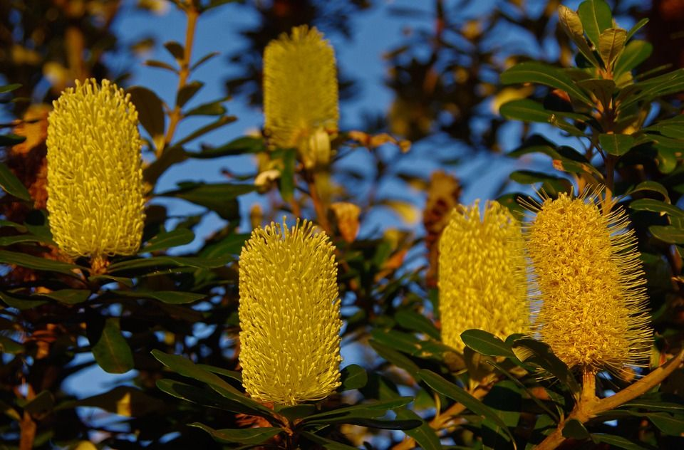 Free Image On Pixabay Coastal Banksia Banksia Flowers Free Images For Blogs Free Images Free Photos
