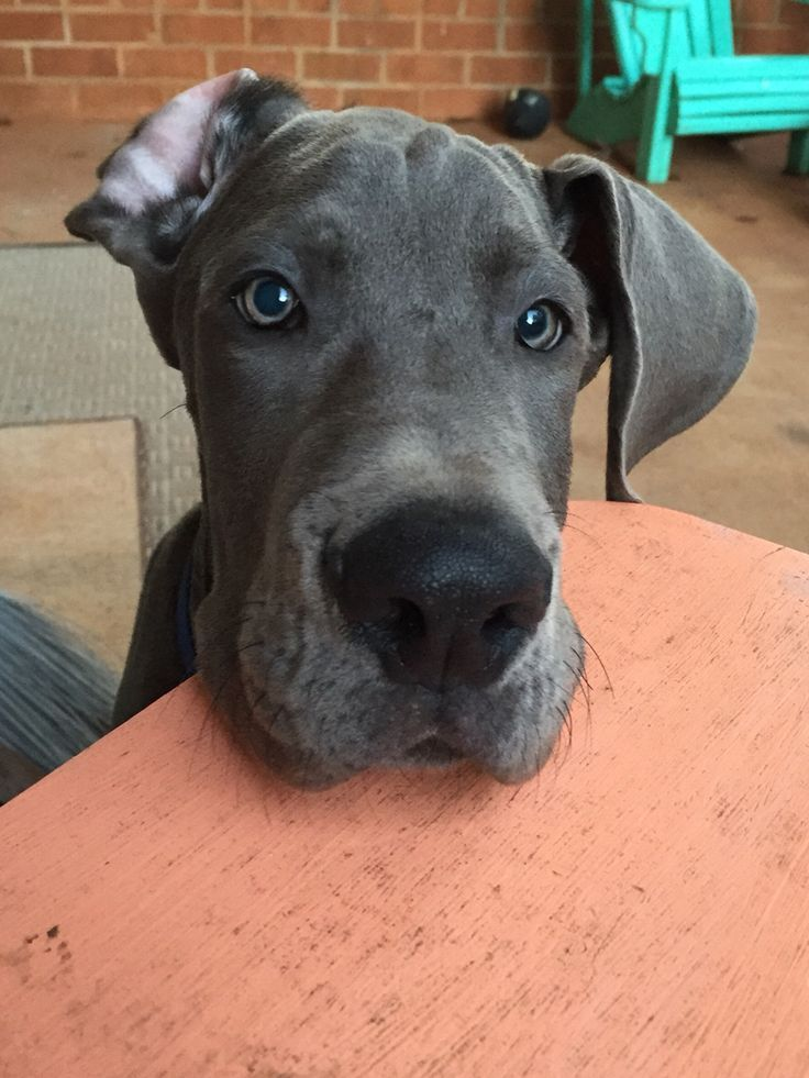 Pinterest Dane Puppies Great Dane Puppy Dane Dog