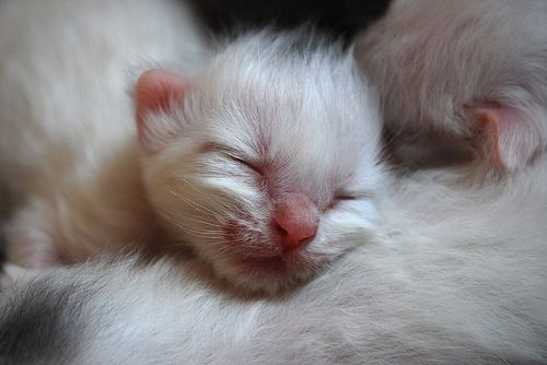 Newborn White Kitten Newborn Kittens Kittens Cutest Cute Animals