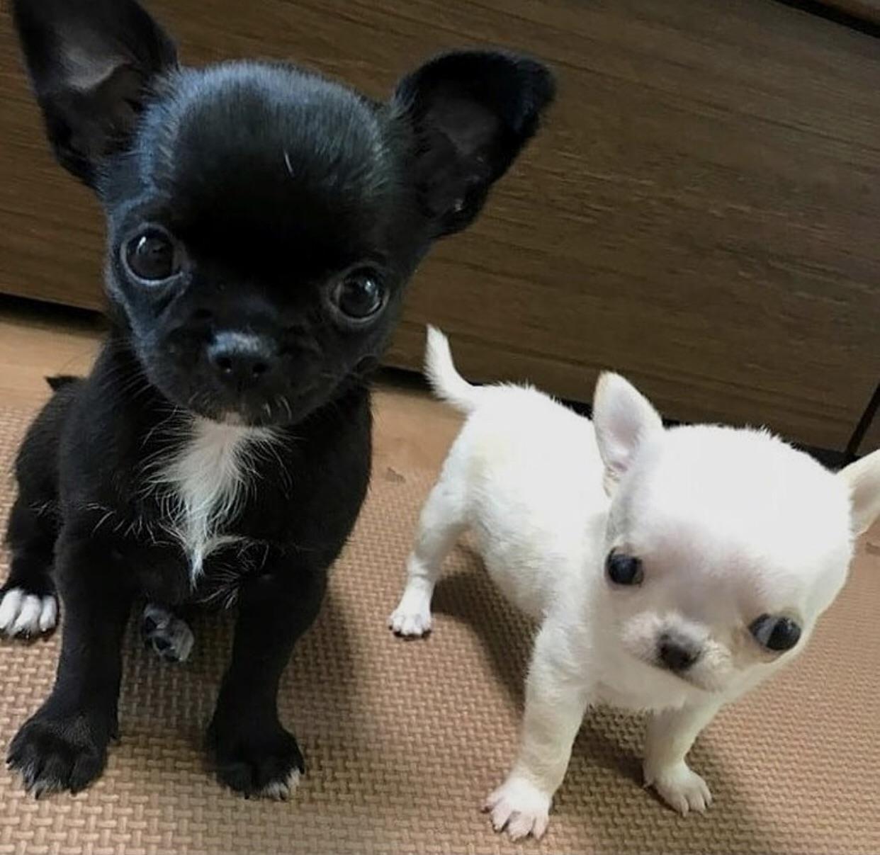 Black And White Cuties Chihuahua Chihuahua Puppies Baby Chihuahua Cute Chihuahua