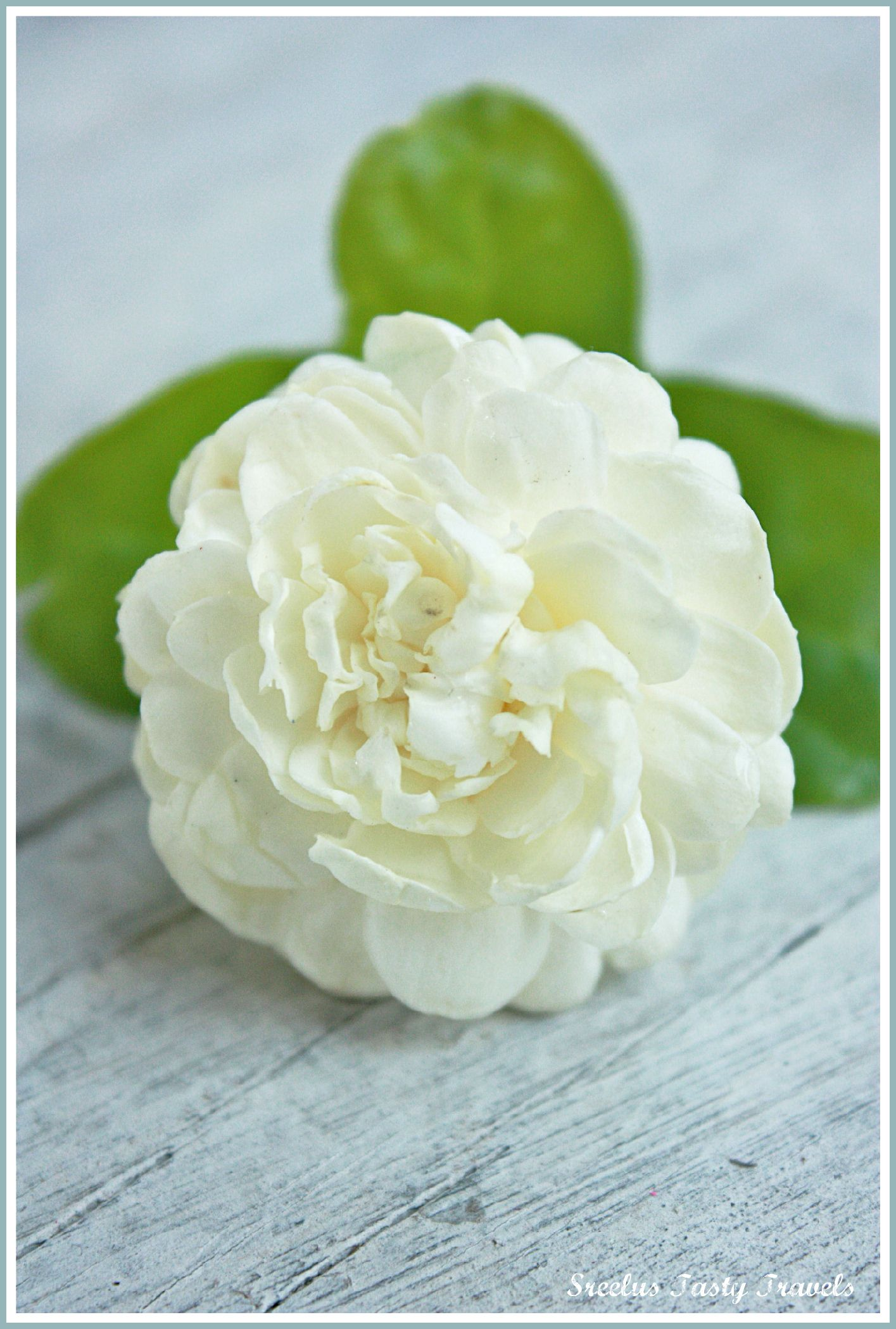 Arabic Jasmine love the thick multi layered petals, reminds  of peony