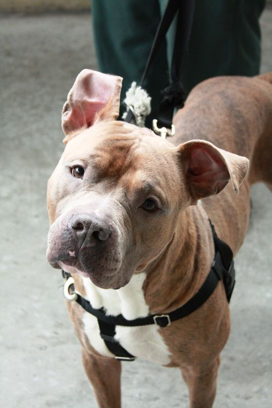 Operation Second Chance Jail Dogs Shown On Pitbulls And Parolees If I Can T Find A Program Closer To Me We Re Tot Cute Pitbulls Pitbull Dog Pitbull Rescue