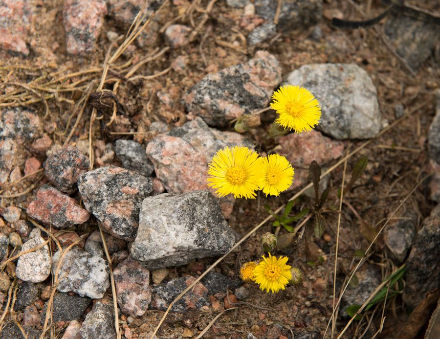 Tussilago by Irina Karmanovskaia on 500px