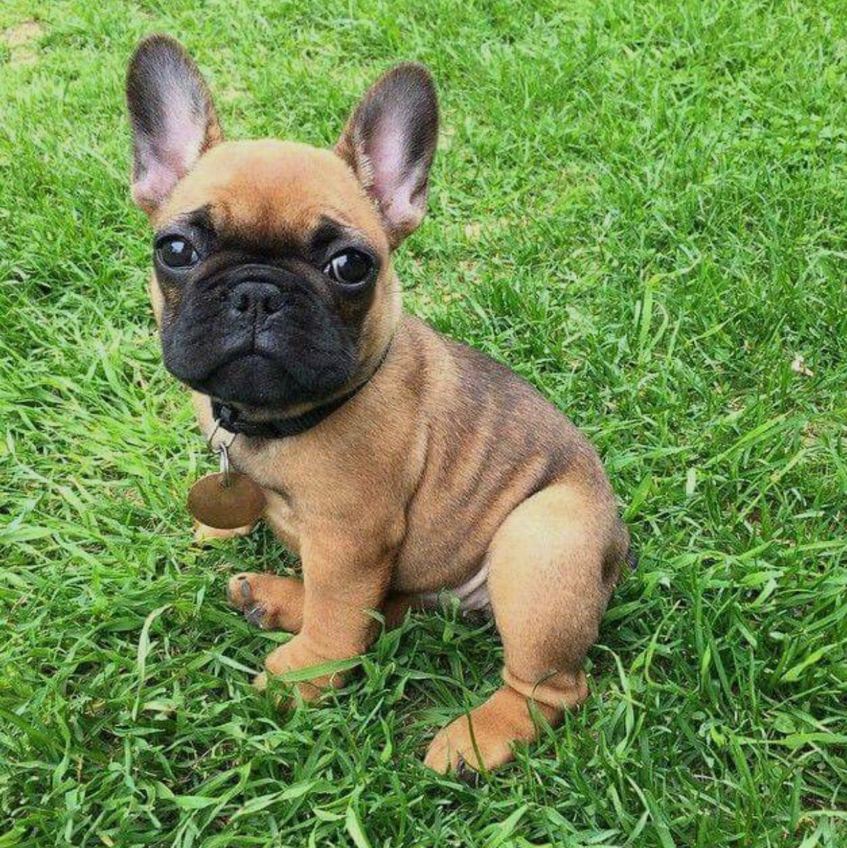 fawn french bulldog with black mask | cute puppies, french