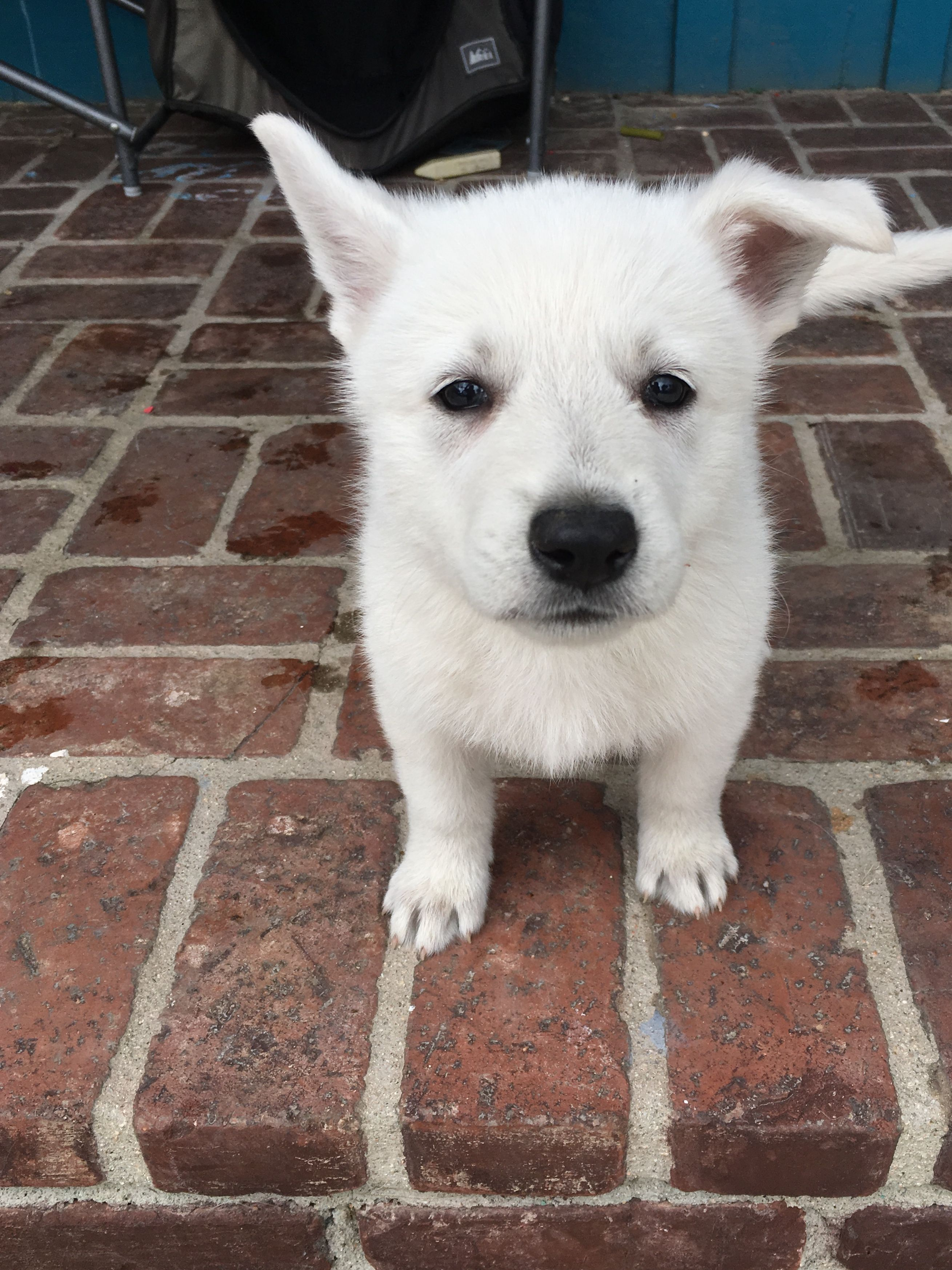 Black Girl A Ukc White Shepherd Puppy For Sale In California