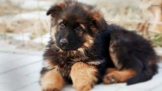 German Shepherd puppy...awww is adorable!!!♡♡♡♡♡