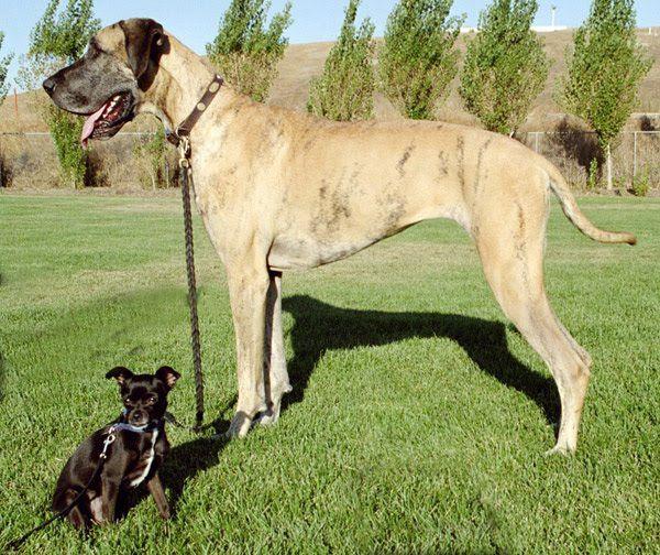 Lightly Marked Brindle Great Dane Dog Breeds