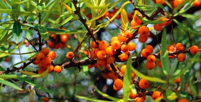 Seabuckthorn is used for treating child-specific state of vitamin deficiency, recovering from whooping cough and measles colds. A teaspoon of fruit in a cup of boiling water, let it shoot up to 5 minutes before drinking, fruit crush berries.
