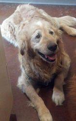 Magnum Is An Adoptable Golden Retriever Dog In Spokane Wa Magnum