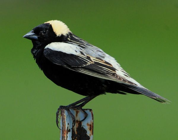 The Bobolink Is A Small New World Blackbird And The Only Member Of Genus Dolichonyx Males Sing Bright Bubbly Songs In F Beautiful Birds Bird Photo Bird Book