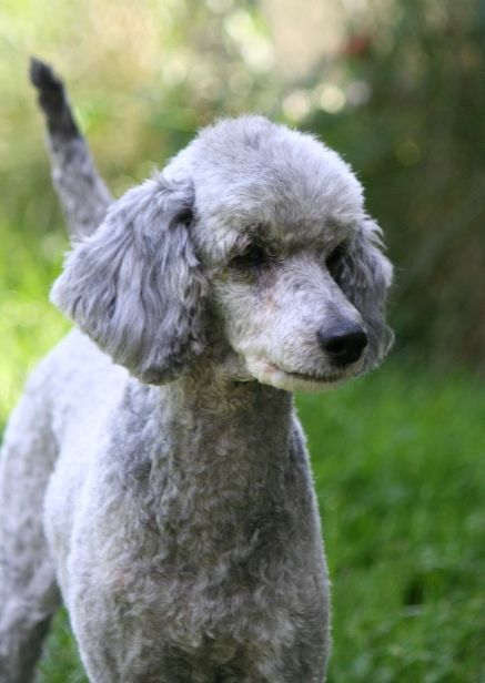 Pin By Debby Reiss On Poodles Silver Poodle Poodle Silver