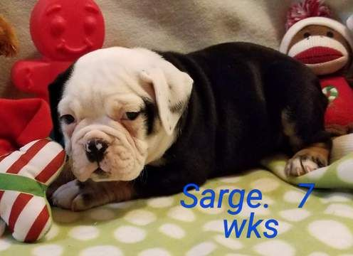 Litter Of 5 Olde English Bulldogge Puppies For Sale In Cynthiana