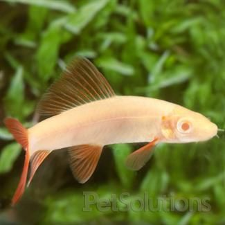 Albino Rainbow Shark Live Freshwater Catfish For Sale Online Petsolutions Species Of Sharks Types Of Sharks Freshwater Catfish