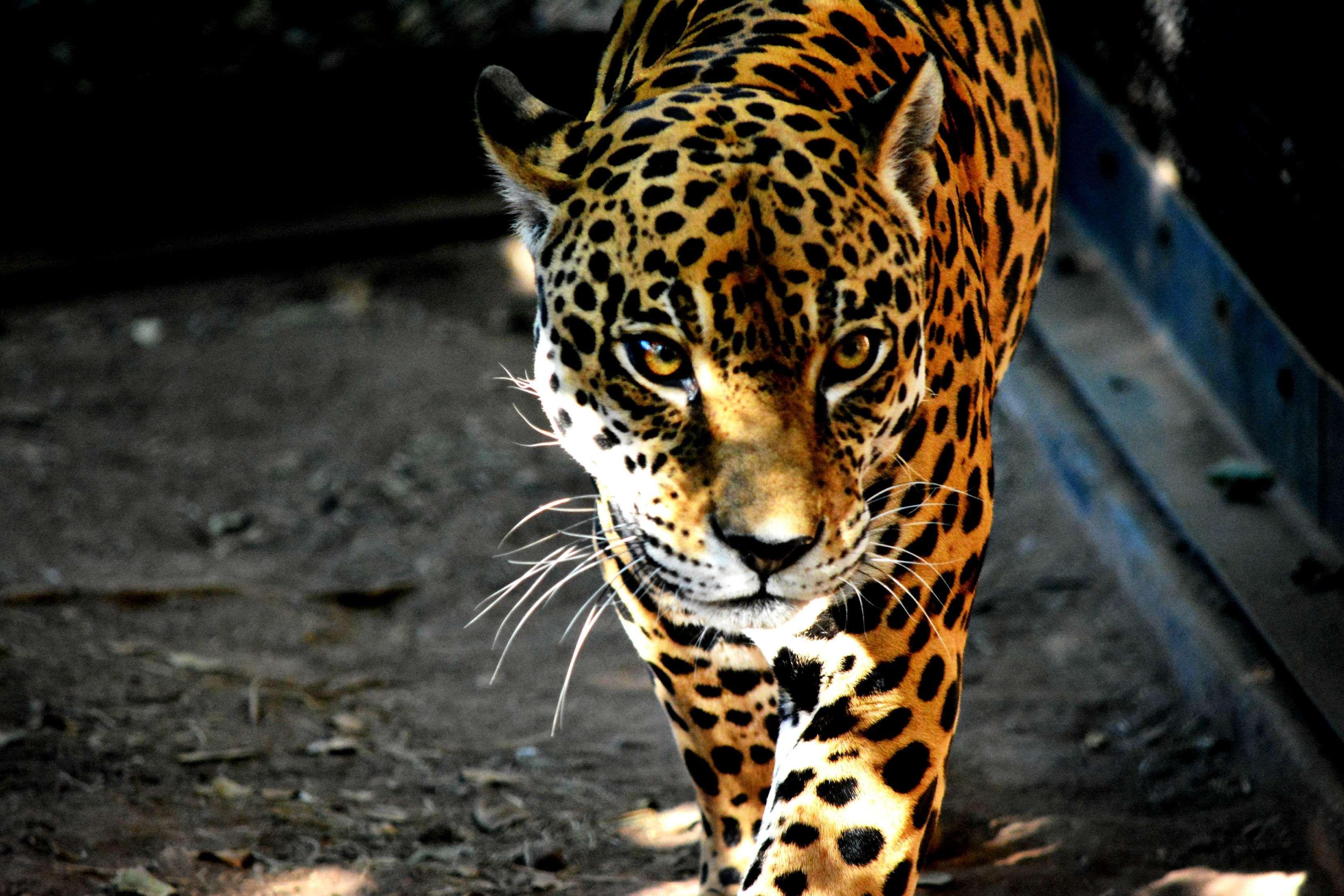 Leopard dress for beautiful predator 89