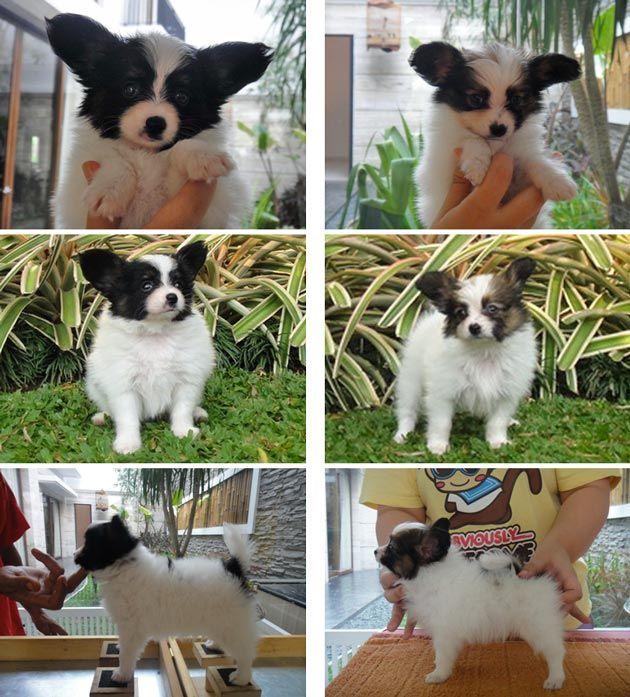 Jual 2 Ekor Papillon Betina Show Prospect Anjing Dijual Iklan