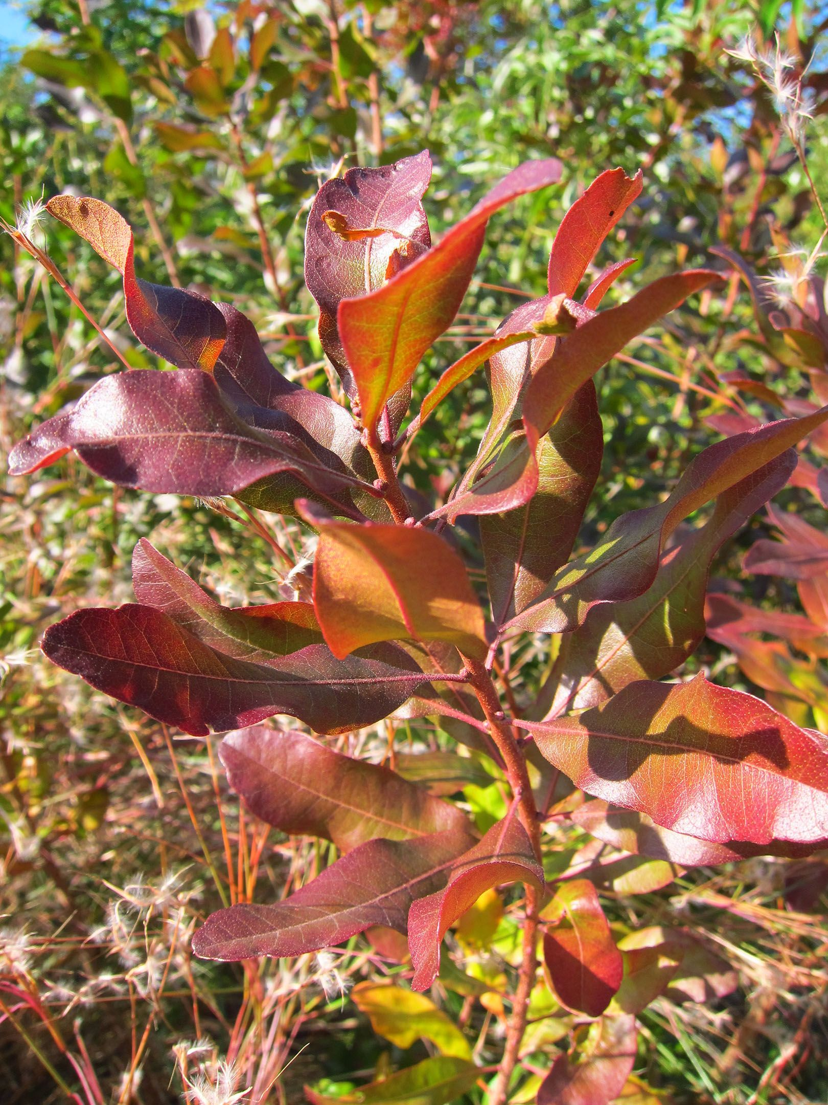 Gardening 101: Northern Bayberry | Shrubs and Trees | Pinterest ...