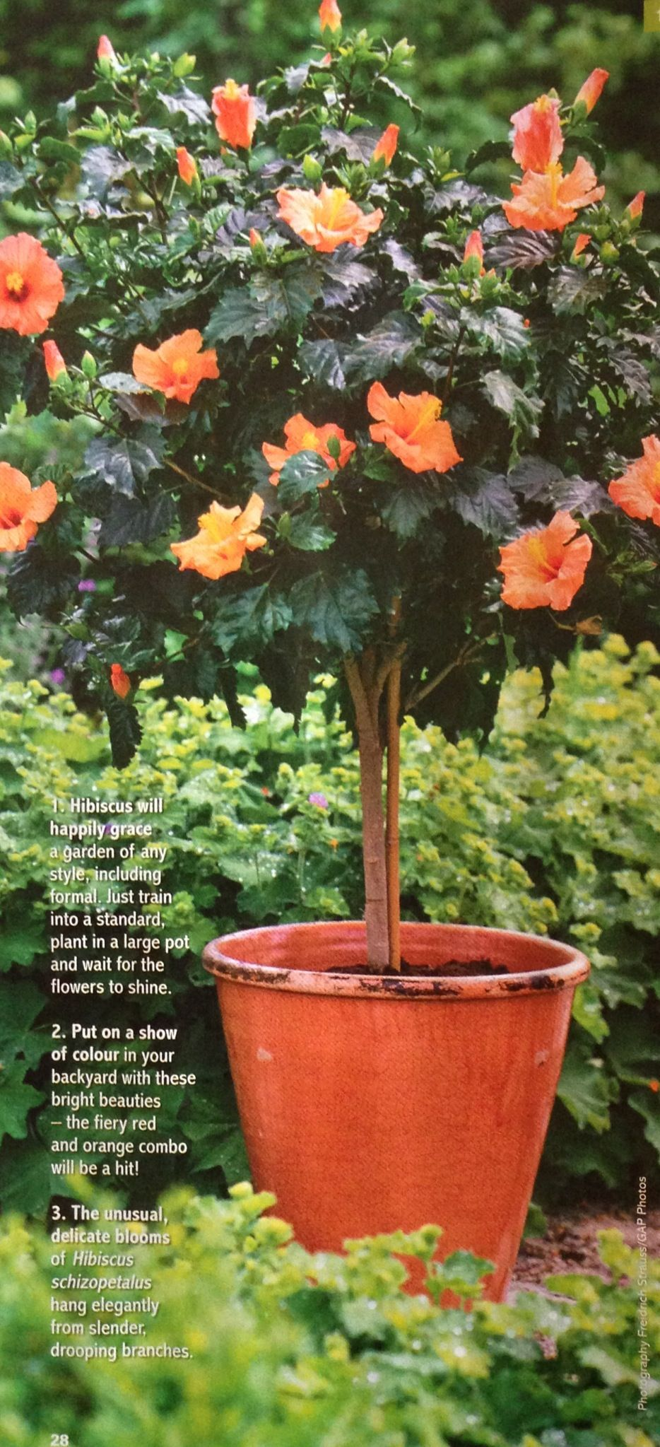 Potted standard Hibiscus   flowers and garden   Pinterest   Hibiscus ...