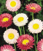 Double Mix (Acroclinium) - 482 | Stokes Seeds