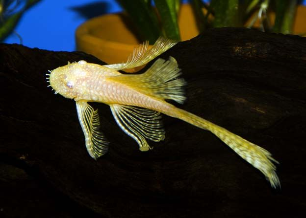 Longfin Albino Bristlenose Pleco Regular Tropical Freshwater Fish For Sale Freshwater Fish Tropical Freshwater Fish Freshwater Fish For Sale