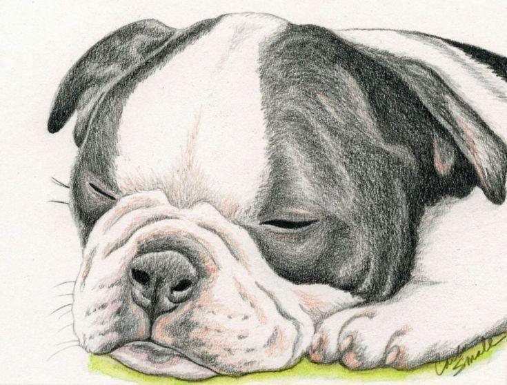 Buy Sleepy Boston Terrier Puppy Pet Dog Original Drawing 6 X 4