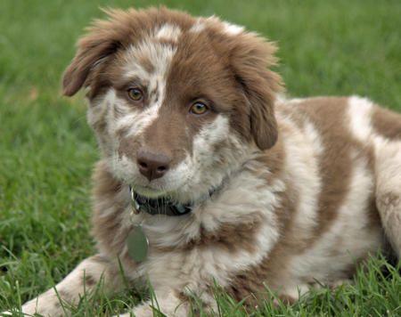 Gracey The Australian Shepherd Australian Shepherd Puppies