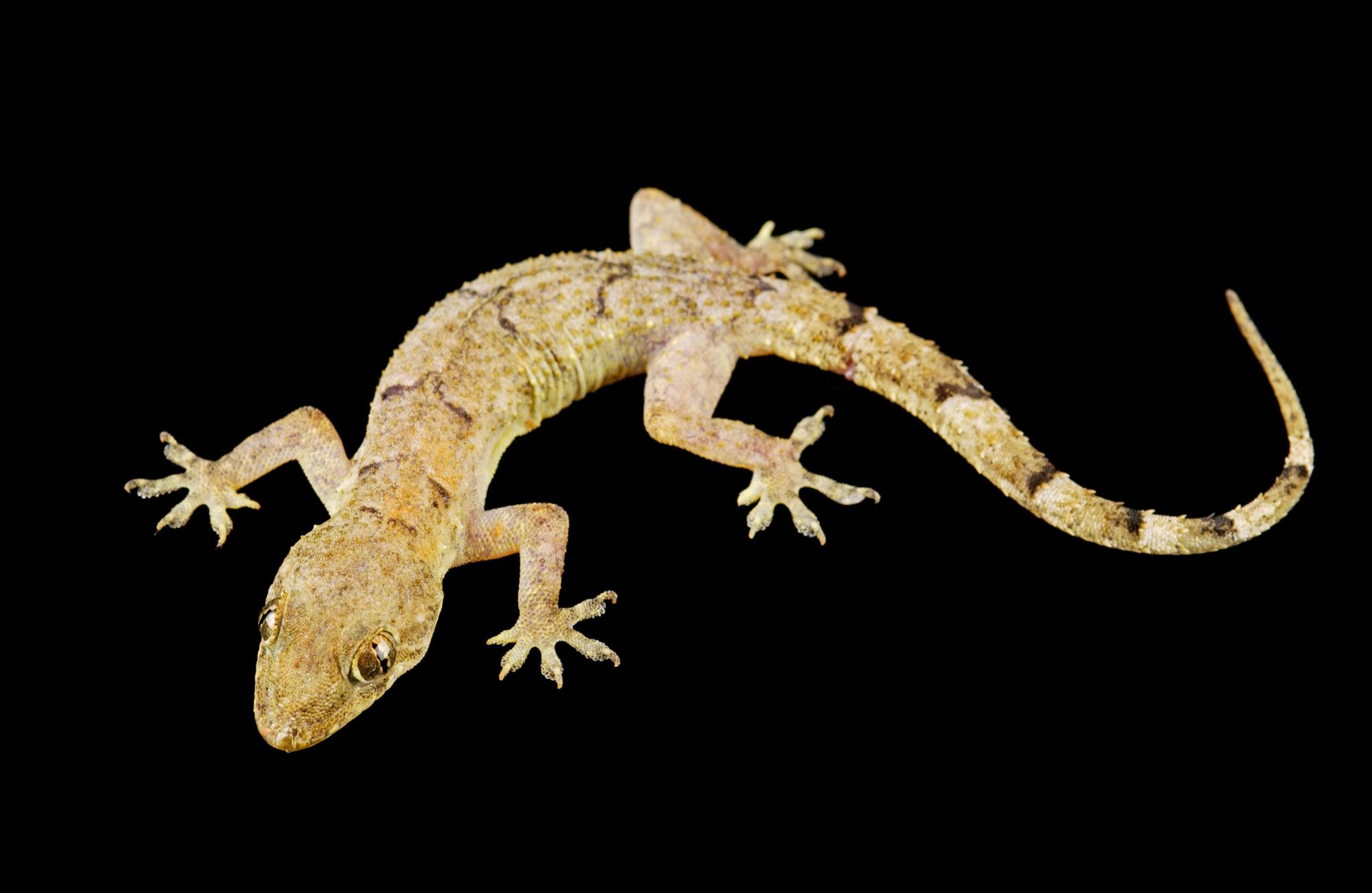 Geckos May Be Famously Sticky But Here S What Stumps Them Animais