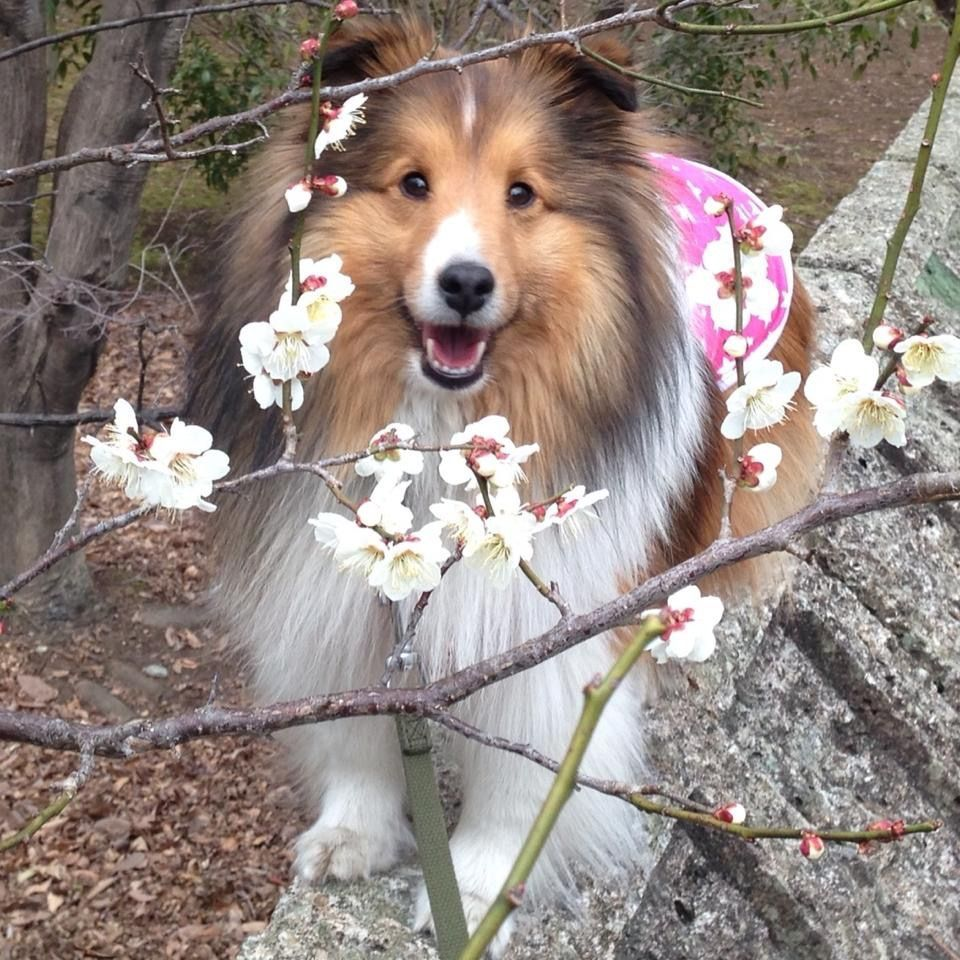 Sweet Sheltie Sheltie Sheltie Dogs Collie Dog