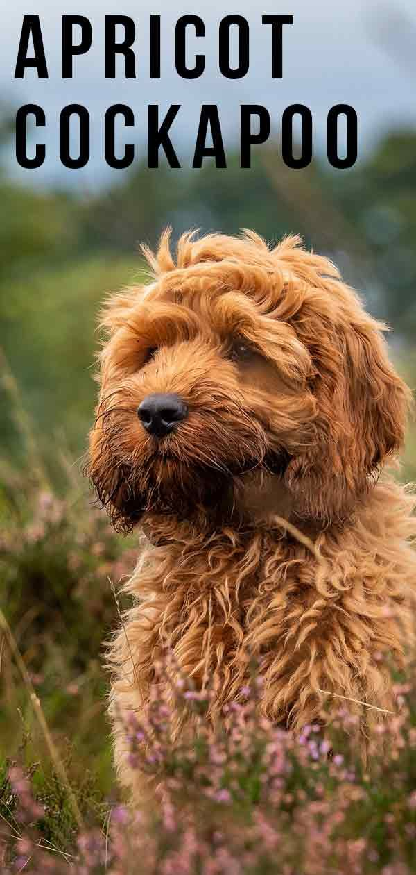 Apricot Cockapoo Have You Seen This Stunning Color? in