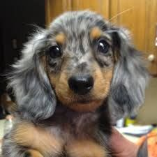 Dachshund Google Search Dapple Dachshund Dachshund Puppies