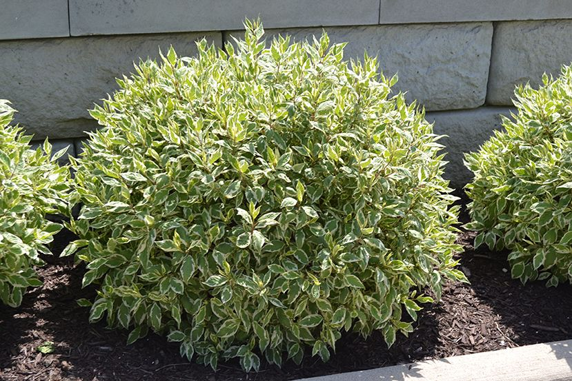 Ivory Halo Dogwood Has Variegated Leaves That Are Green And White Shrubs For Landscaping Landscaping With Rocks Front Yard Landscaping