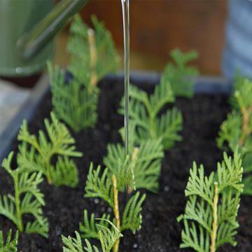 Stecklinge angießem #plantingsucculents