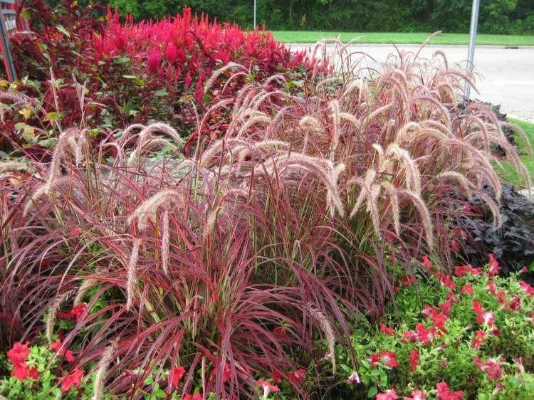 Pennisetum setaceum rubrum gramin e vivace ornementale au for Fleurs du jardin vivaces