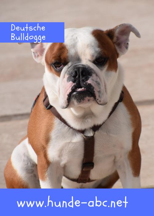 Deutsche Bulldogge Bulldogge Hunderassen Beliebte Hunderassen