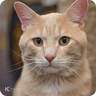 St Paul Mn Domestic Shorthair Meet Beefcake A Cat For Adoption Cat Adoption Kitten Adoption Orange Cats