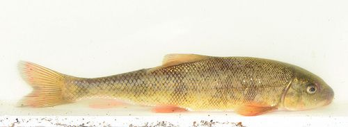 Sacramento Sucker By Loarie Via Flickr Trout Trout Fish