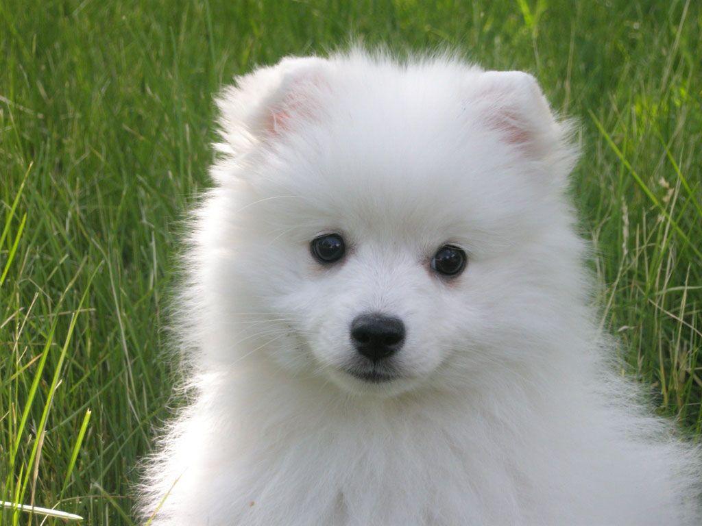 Cute Japanese Spitz Puppy In Grass Japanese Spitz Puppy