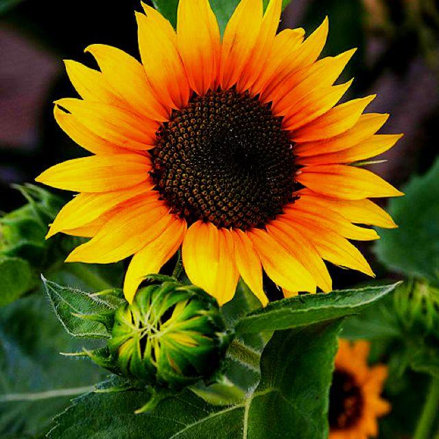 Love sunflowers | Fun Stuff | Pinterest | Sunflowers ...