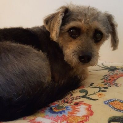 Poodle and Pooch Rescue has small dogs for adoption in