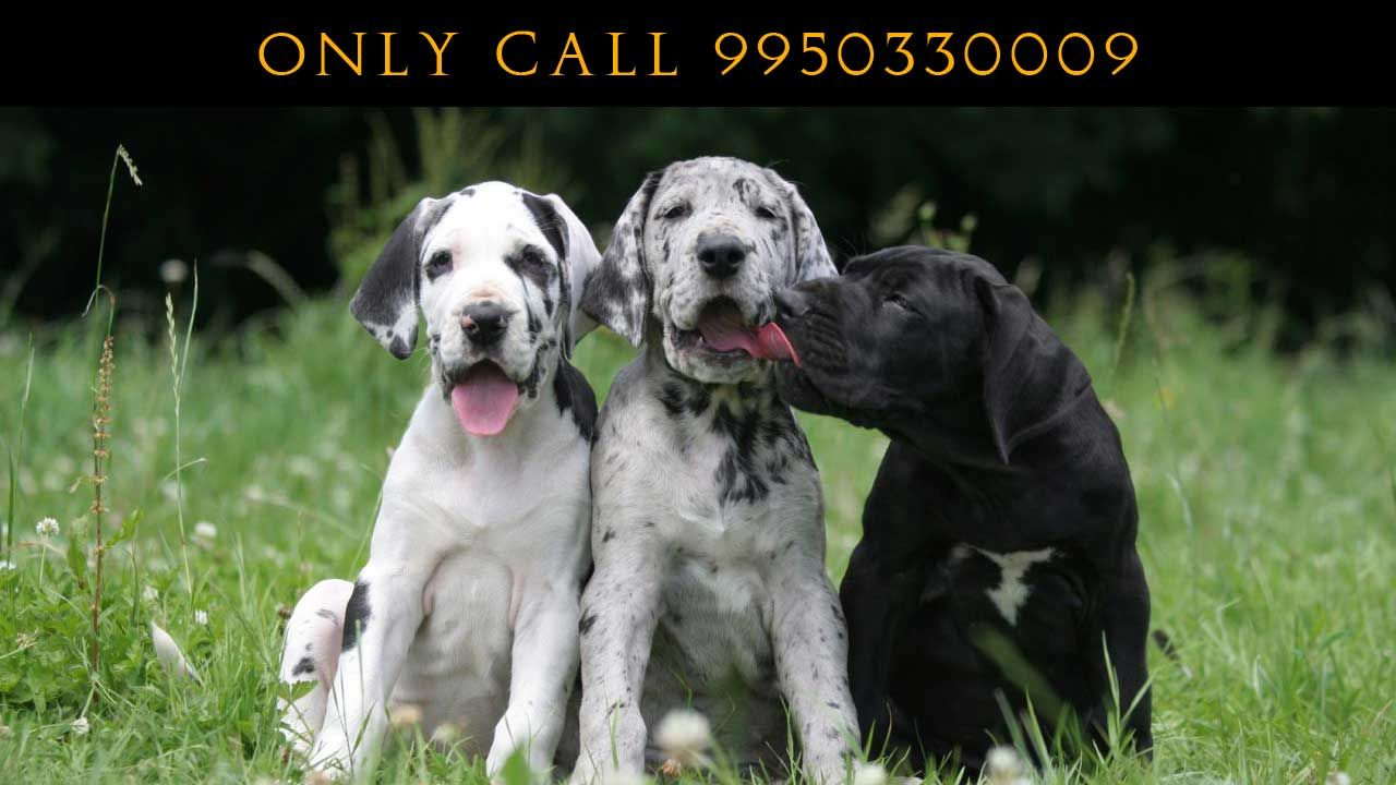 Harlequin Great Dane Pure Breed Puppy Sale India Pet Shop India