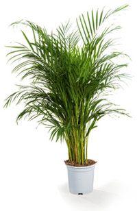 plante verte genre palmier