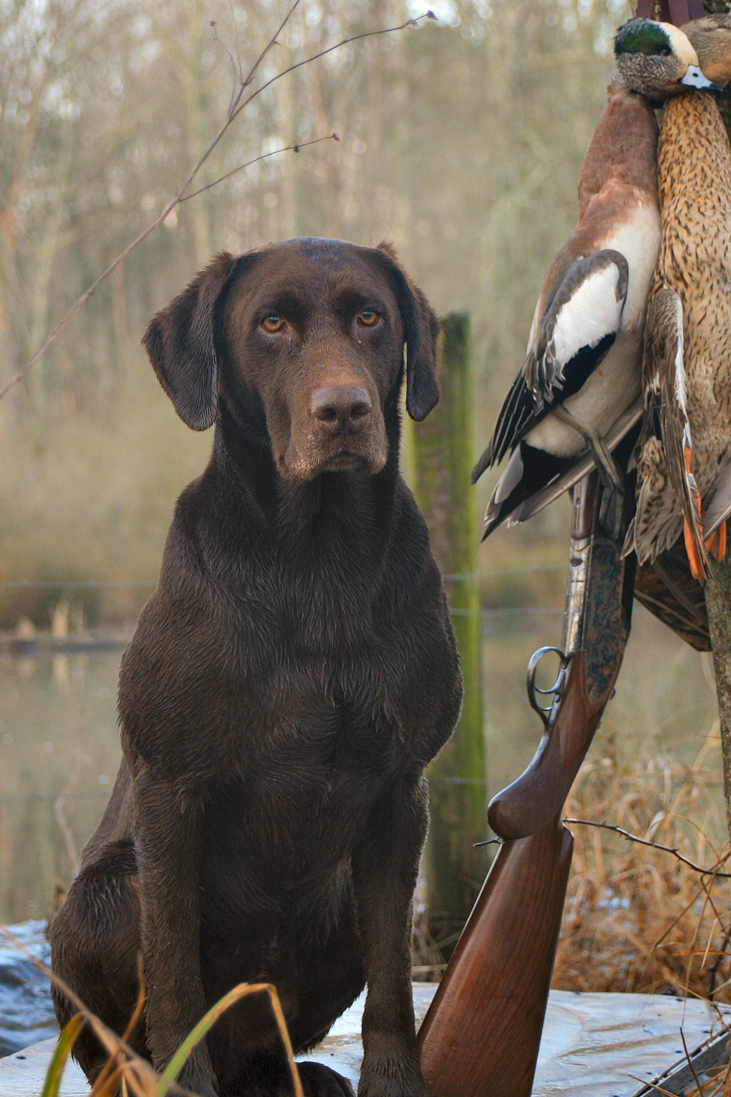 RoddyDog from Blowing Springs Kennel … | Labrador | Dogs,…