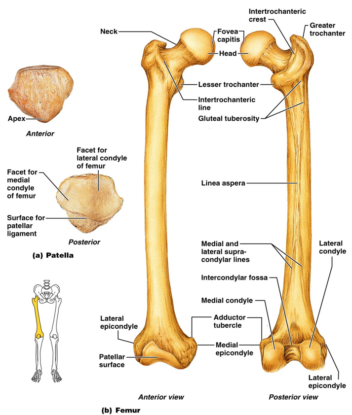 femur anatomy | anatomy picture reference and health news ... femur diagram #1