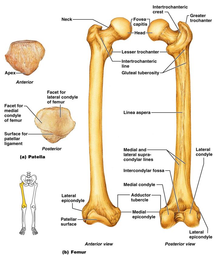 Femur Anatomy | Anatomy Picture Reference and Health News | bones | Anatomy, Anatomy, physiology