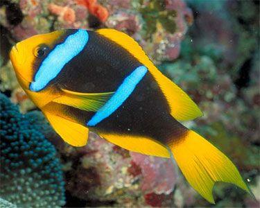 Bluestripe Clownfish Amphiprion Chrysopterus Water Animals Clown Fish Ocean Life