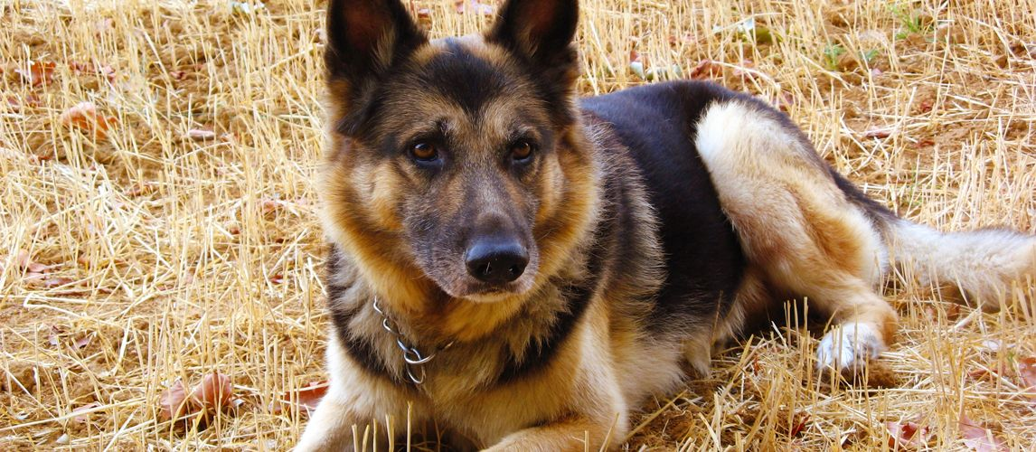 Looking For A Quality Dog Food For Your Shepherd Check Out Our