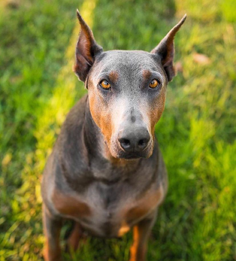 Those Eyes Dobermanduo By Doberman Pinschers Blue Doberman
