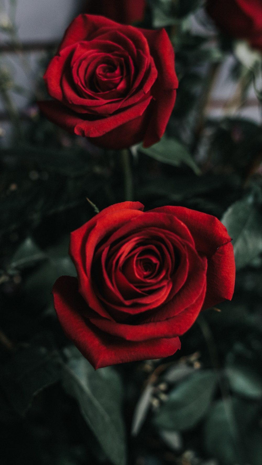 Download Wallpaper 1080x1920 Rose Flower Bud Red Samsung Galaxy S4 S5 Note Sony Xperia Z Z1 Z In 2020 Flower Phone Wallpaper Red Roses Wallpaper Rose Wallpaper